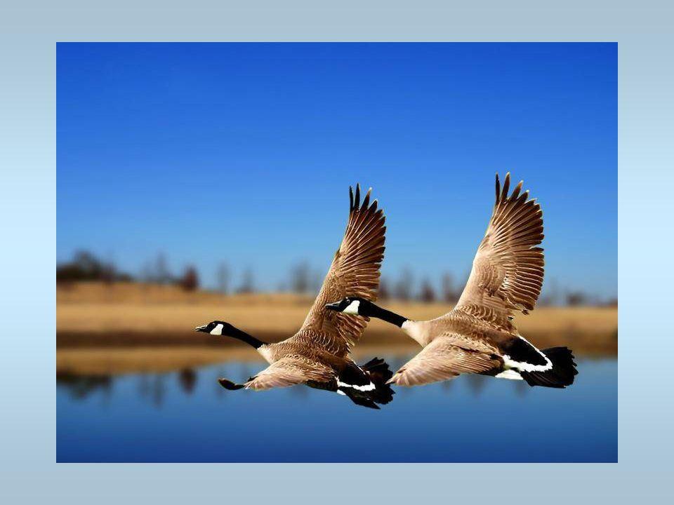 Des canards Un vol de canards