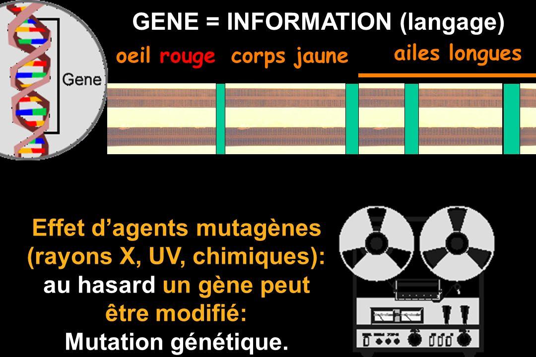GENE = INFORMATION (langage) oeil rougecorps jaune Effet dagents mutagènes (rayons X, UV, chimiques): au hasard un gène peut être modifié: Mutation génétique.