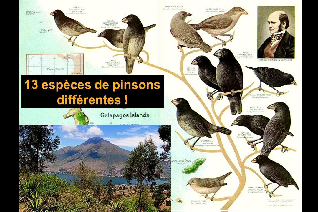 13 espèces de pinsons différentes !