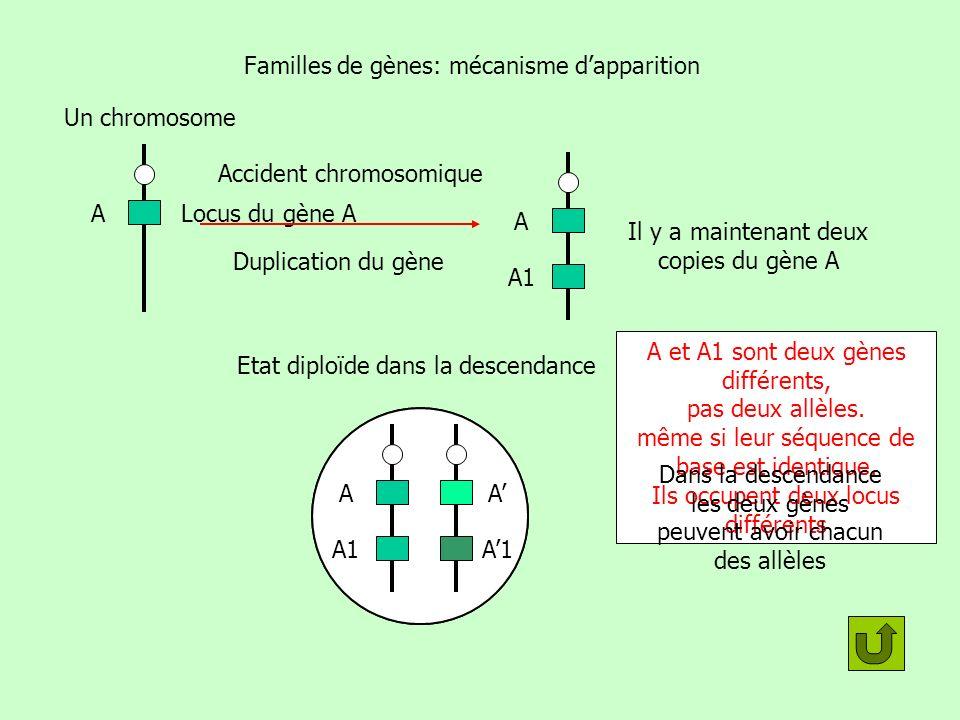 A Familles de gènes: devenir des copies A A1 Une mutation se produit sur une des deux copies du gène Si la mutation nest pas neutre, en général elle rend infonctionnelle le gène correspondant Si elle affecte A, comme il y a une autre copie fonctionnelle la mutation est conservée Nimporte laquelle .