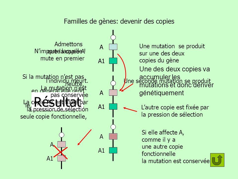 Famille de gènes: intérêt évolutif A A1 A ne subissant pas de pression de sélection peut continuer à dériver =accumuler des mutations A A1 Le produit du gène modifié peut par hasard rencontrer une nouvelle fonction A A1 A partir de ce moment seules les mutations favorables seront conservées Comment peut-on franchir un précipice en deux sauts.