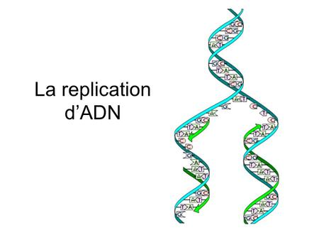 La replication d'ADN.