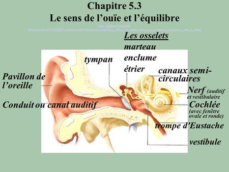 Chapitre 5.3 Le sens de louïe et léquilibre  hill.com/sites/0072495855/student_view0/chapter19/animation__effect_of_sound_waves_on_cochlear_structures__quiz_2_.html.