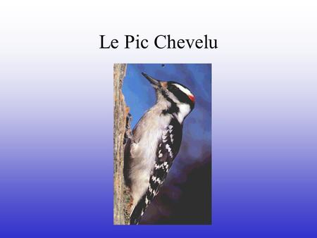 Le Pic Chevelu Nom anglais: Hairy Woodpecker Nom scientifique: Picoides Villosus.