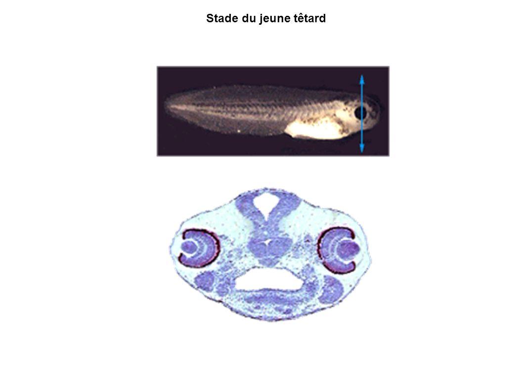 Encéphale oeil rétine cristallin pharynx Arc mandibulaire cornée