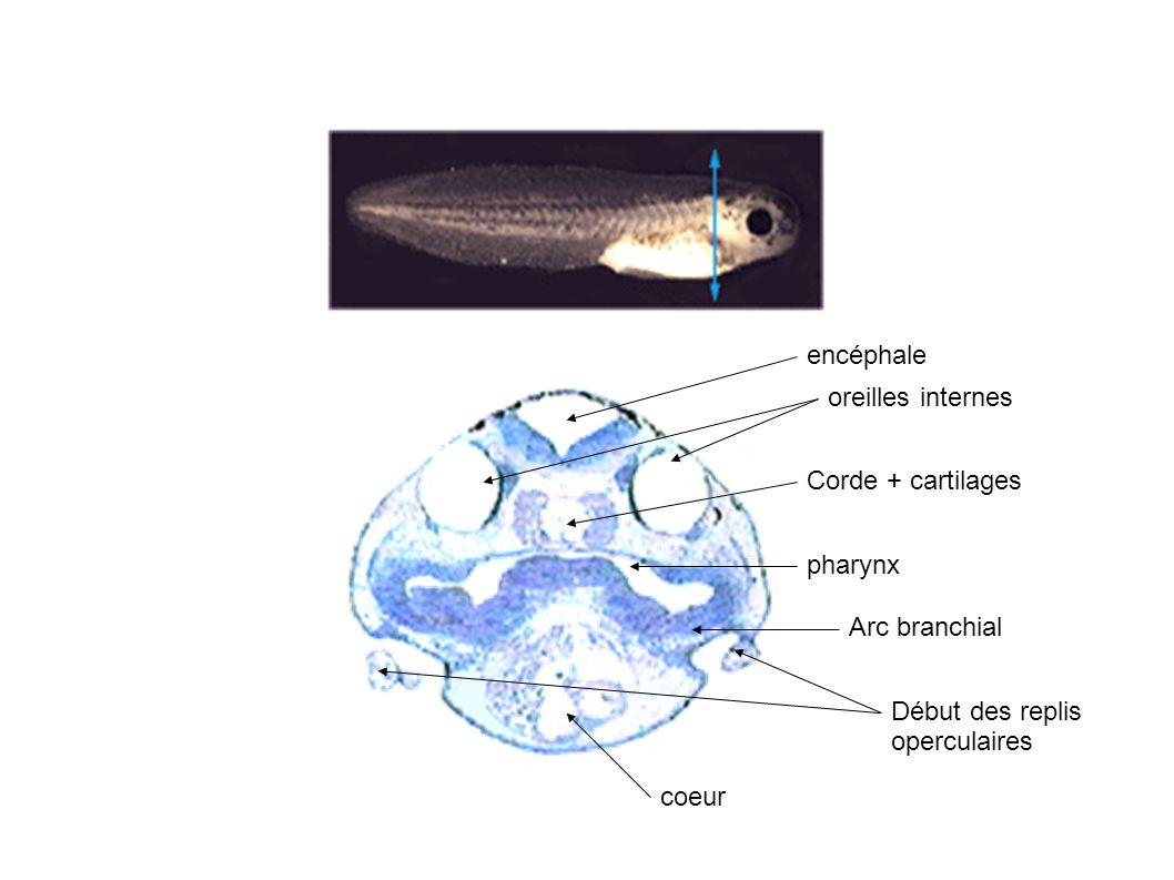 encéphale Moelle épinière Muscles en chevrons de la queue nageoire Bec corné Tube digestif coeur foie pharynx bouche