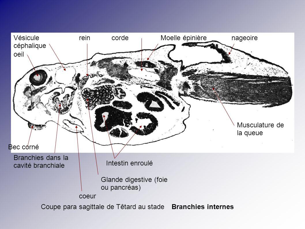 Encéphale (avec grand ventricule) Oreille interne Corde + cartilage pharynx Branchies externes Coeur (ventricule et oreillettes) Trachée pulmonaire péricarde Têtard au stade branchies externes