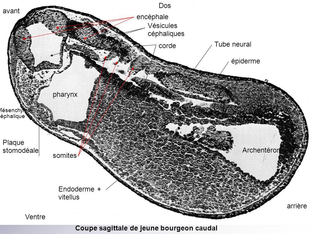 Le bourgeon caudal