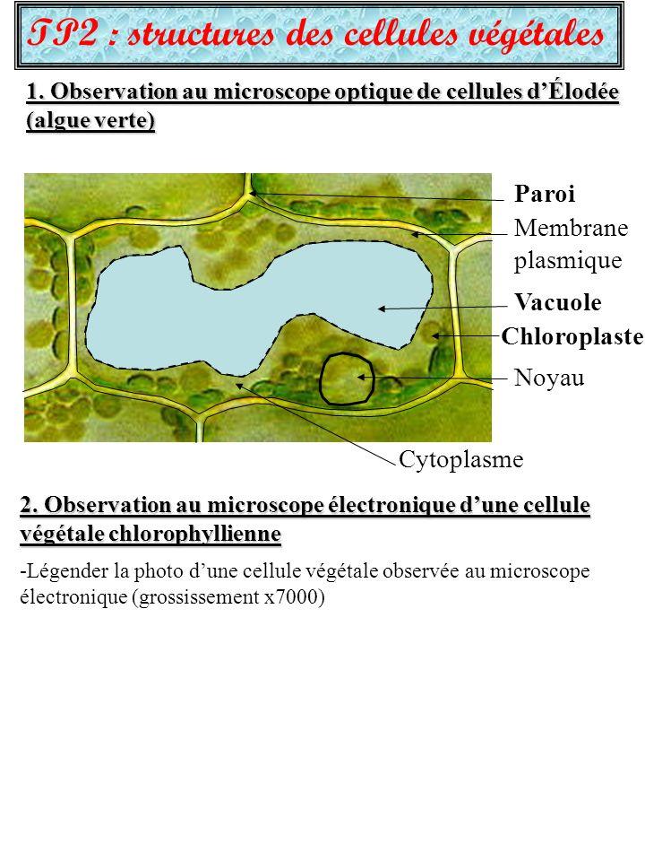 TP2 : structures des cellules végétales 1.