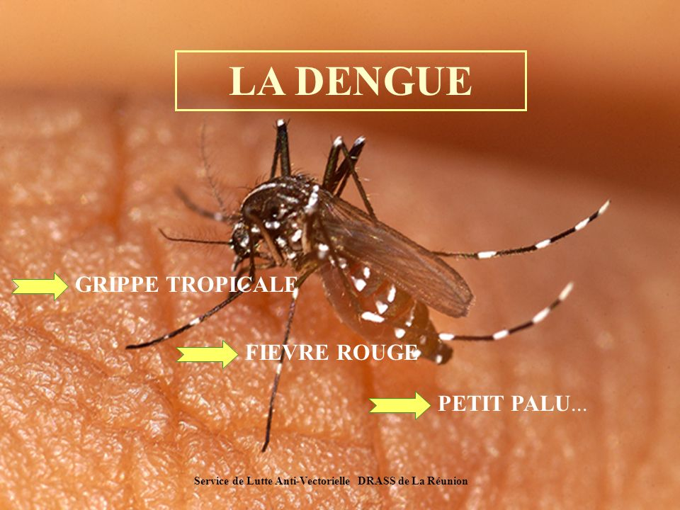 Une histoire de dengue… (1) 1780 Première description de la maladie Extension de la maladie par voie maritime d Amérique aux grands ports d Europe, puis dans les régions tropicales et sub-tropicales.