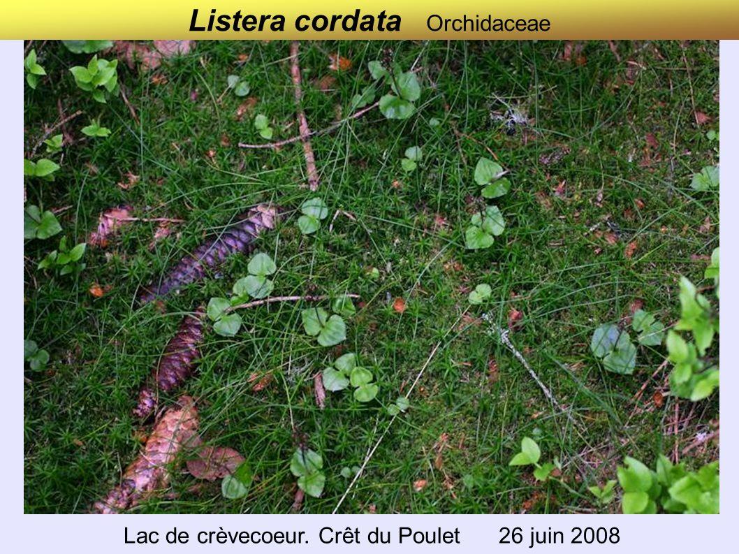 Listera cordata Orchidaceae Lac de Crèvecœur.