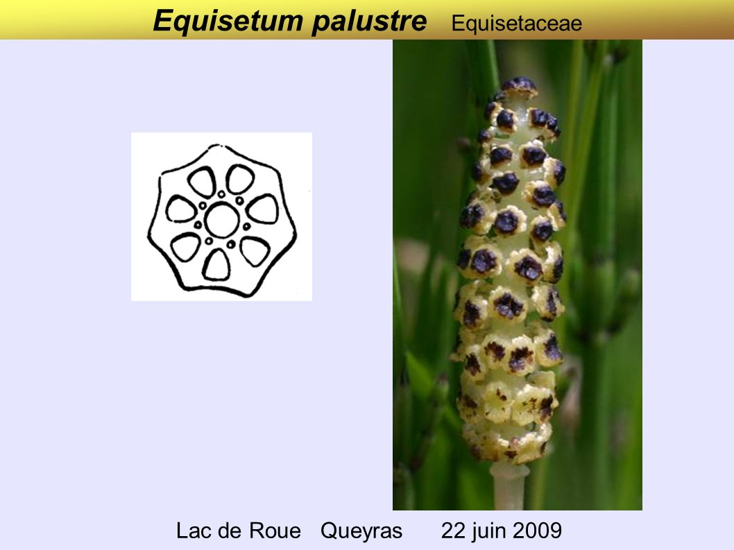 Drosera rotundifolia Droseraceae Combe du lac de Lamoura Jura 17 juin 2008