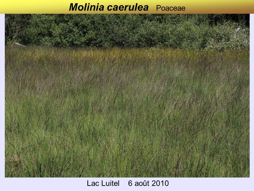 Molinia caerulea Poaceae Lac Luitel 6 août 2010