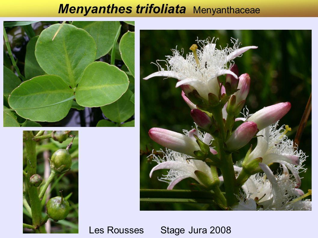 Iris pseudacorus Iridaceae Bords du Drac Mai 2007