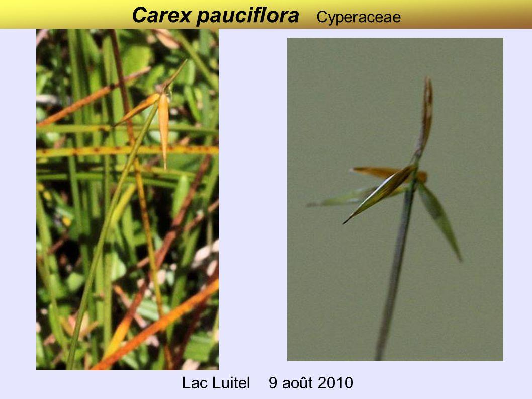 Carex elongata (ex canescens) Cyperaceae Lac Luitel 9 août 2010