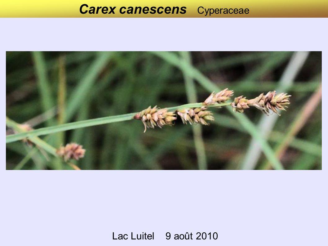 Carex nigra Cyperaceae Lac Luitel 9 août 2010