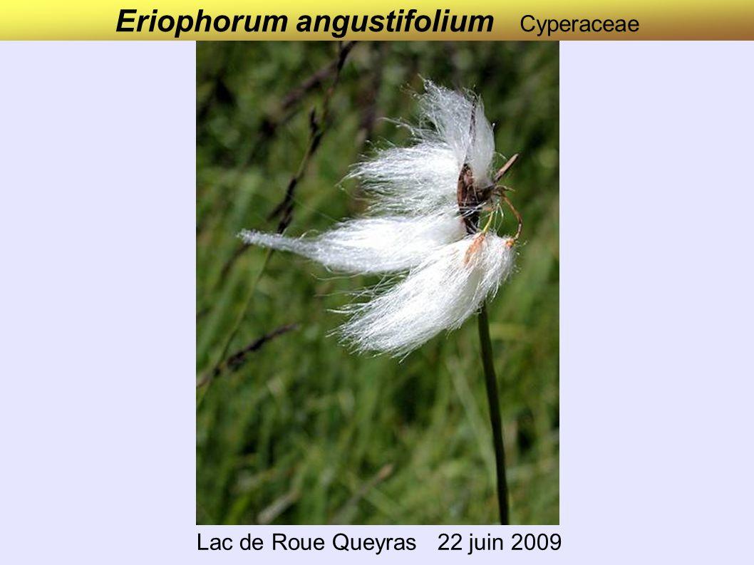 Eriophorum latifolium Cyperaceae Jura 20 juin 2008 Marais et tourbières plutôt calcaires