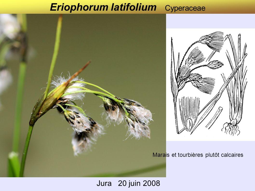 Eriophorum vaginatum Cyperaceae Lac des Rousses Jura 22 juin 2008