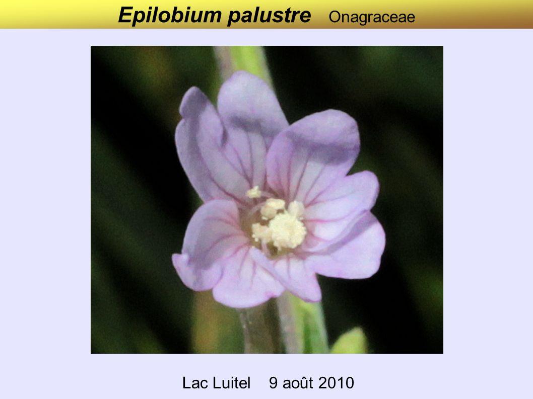 Epilobium nutans Onagraceae Vallon de Savine (Stage Val Cenis) 6 juillet 2010