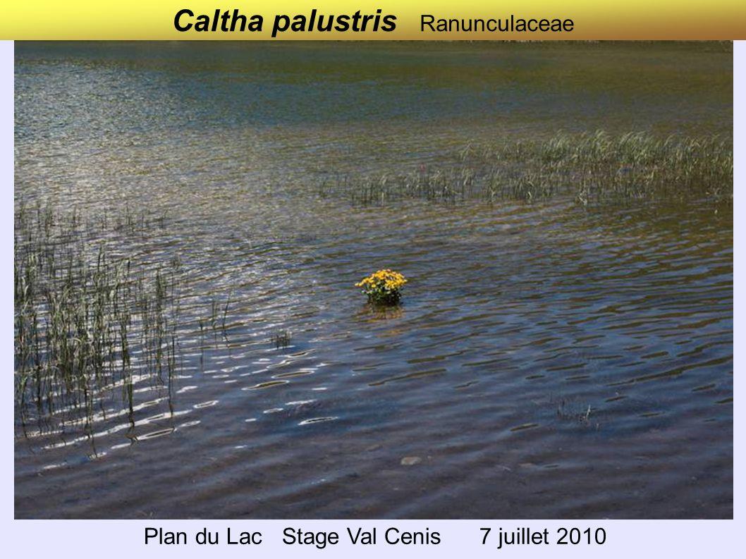 Caltha palustris Ranunculaceae