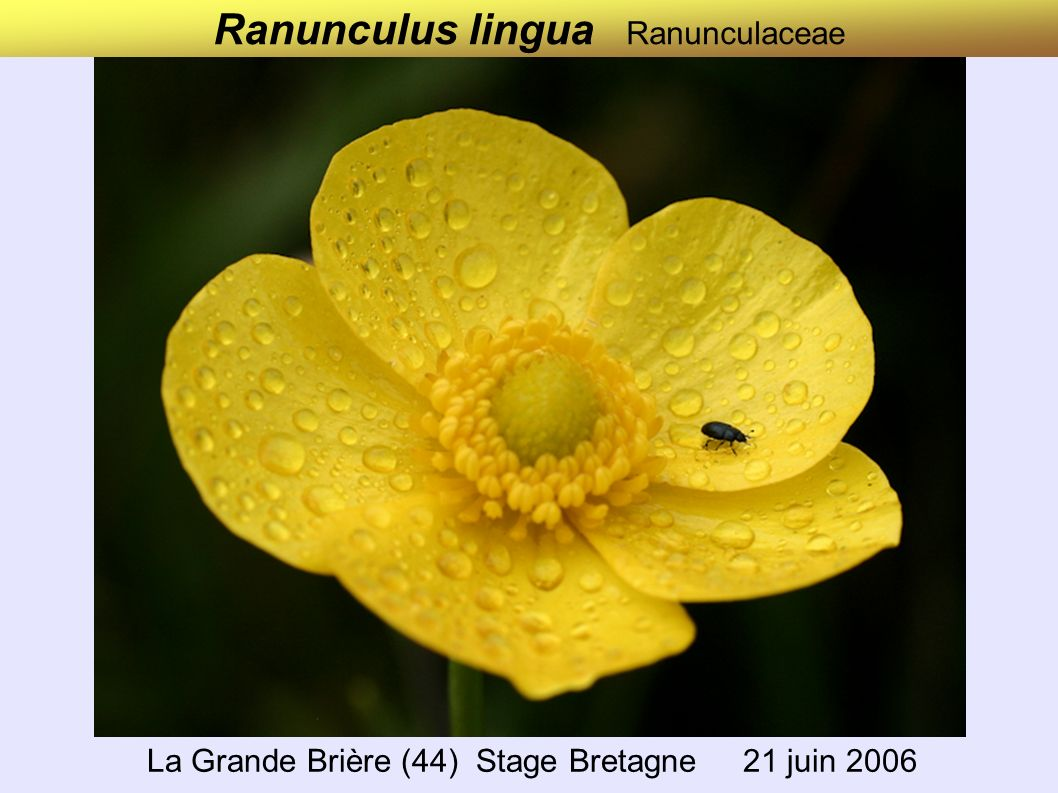 Ranunculus lingua Ranunculaceae La Grande Brière (44) Stage Bretagne 21 juin 2006
