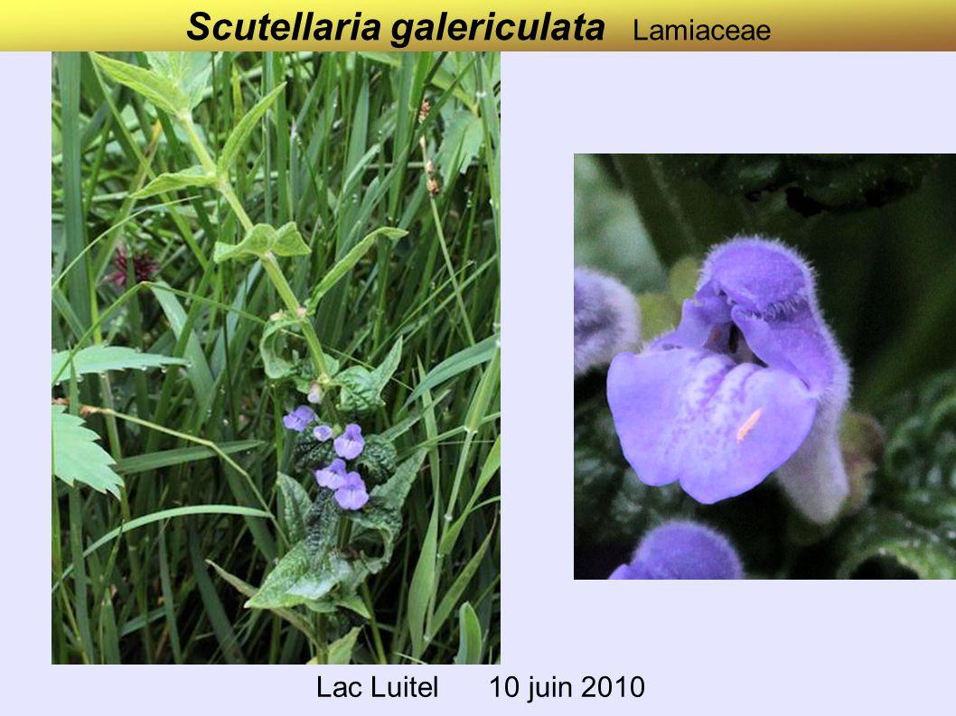 Scutellaria galericulata Lamiaceae Lac Luitel 10 juin 2010
