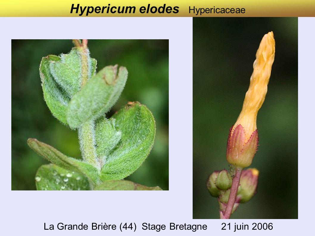 Veronica beccabunga Scrophulariaceae (Plantaginaceae) Stage de Verdaches (04) 7 juin 2004