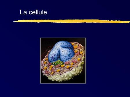 La cellule. La machinerie de traduction Gouttelette lipidique Glycogène Lipofuschine.