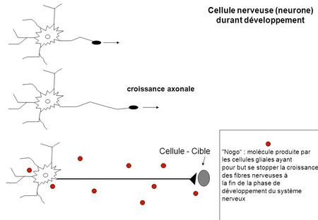 Cellule nerveuse (neurone)