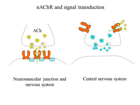 NAChR and signal transduction Neuromuscular junction and nervous system Central nervous system ACh.