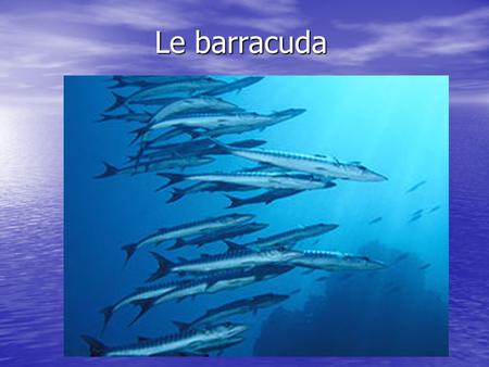 Le barracuda.