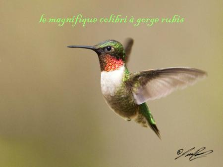 Le magnifique colibri à gorge rubis. Table des matières •Introduction •Son habitat •Son Alimentation •Sa reproduction •Son Nids et ses petits •Ses aspects.