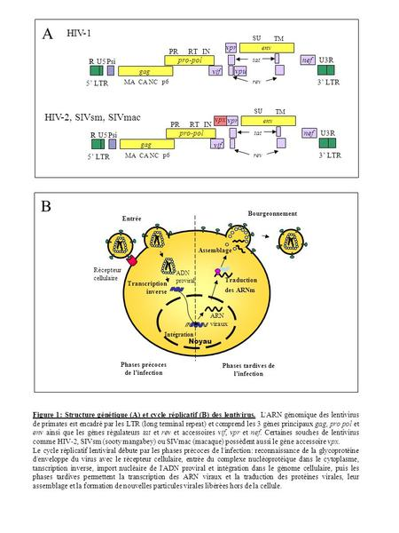 Phases précoces de l'infection Phases tardives de l'infection