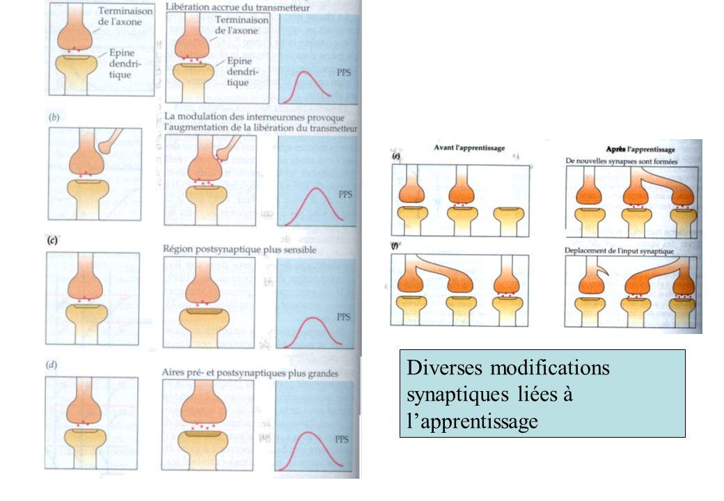 Diverses modifications synaptiques liées à l'apprentissage