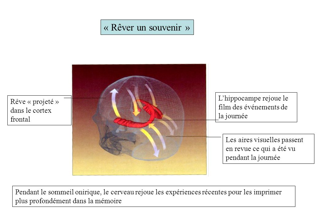 « Rêver un souvenir » L'hippocampe rejoue le film des événements de la journée. Rêve « projeté » dans le cortex frontal.