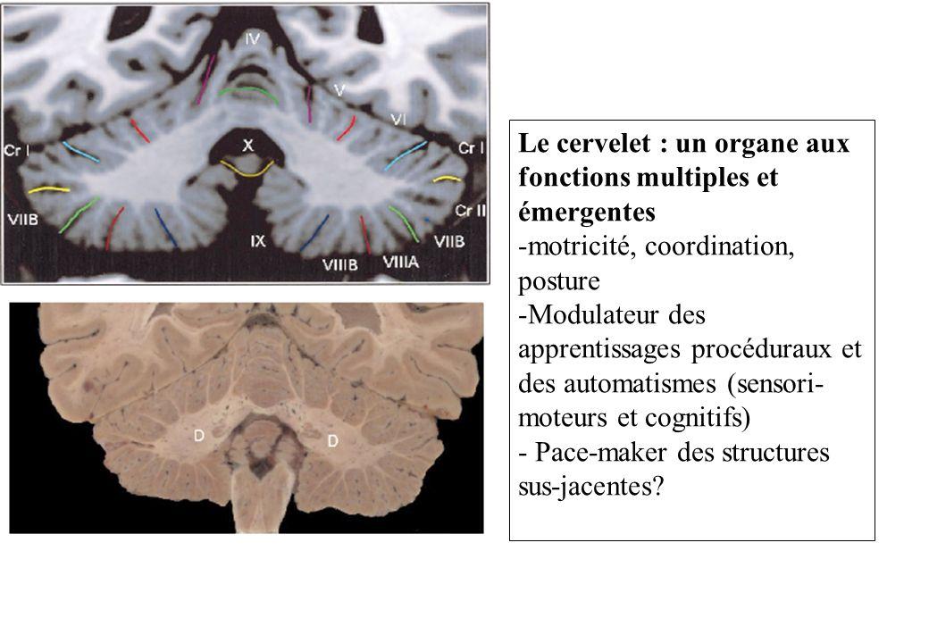 Le cervelet : un organe aux fonctions multiples et émergentes