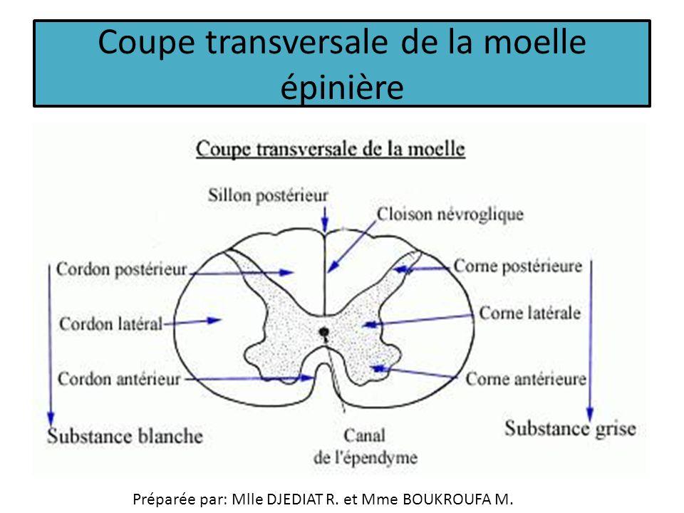 Anatomie et histologie ppt video online t l charger - Coupe transversale de moelle epiniere ...