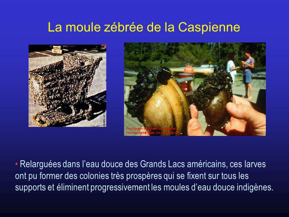 La moule zébrée de la Caspienne