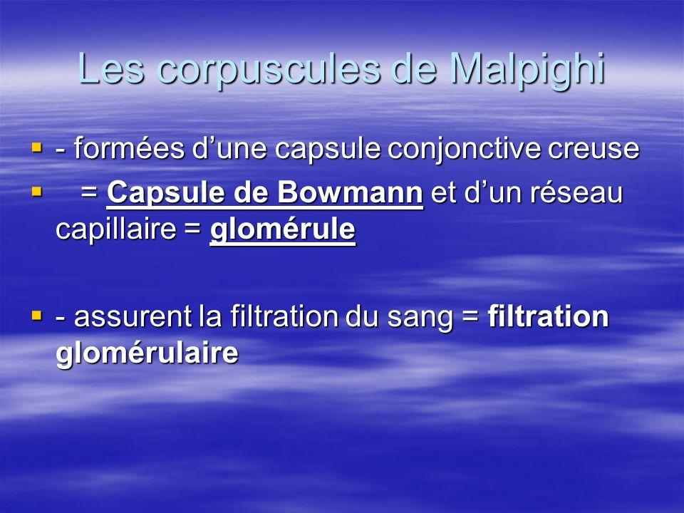 Les corpuscules de Malpighi