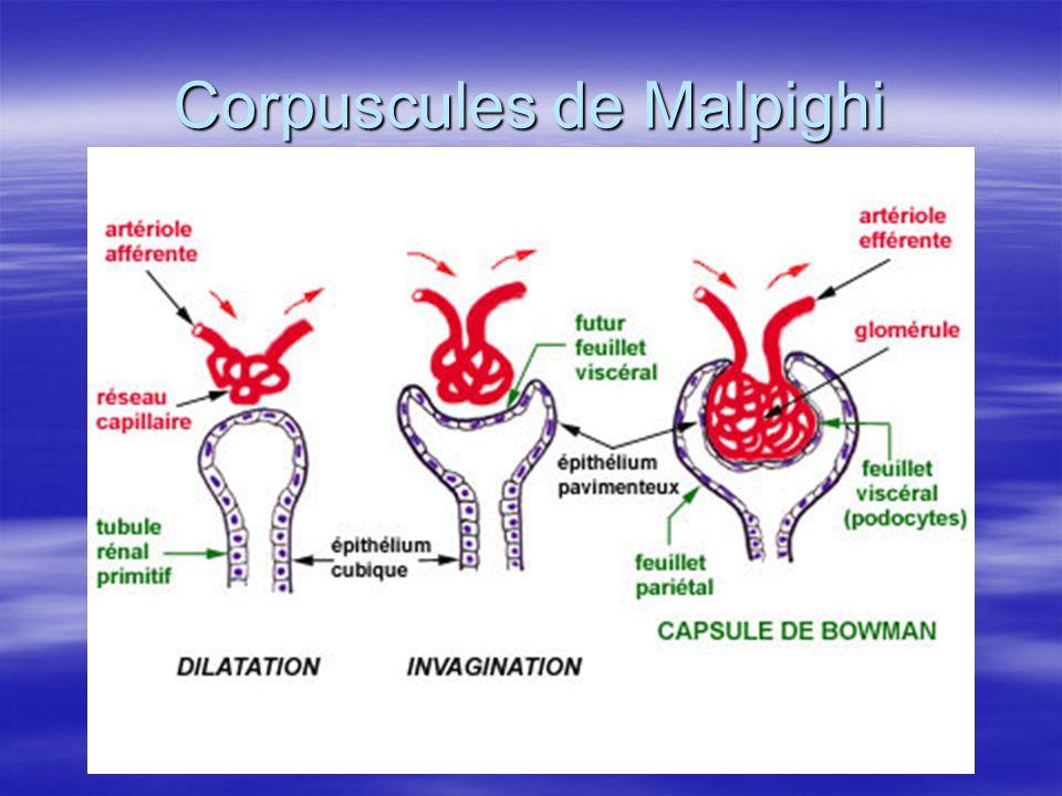 Corpuscules de Malpighi