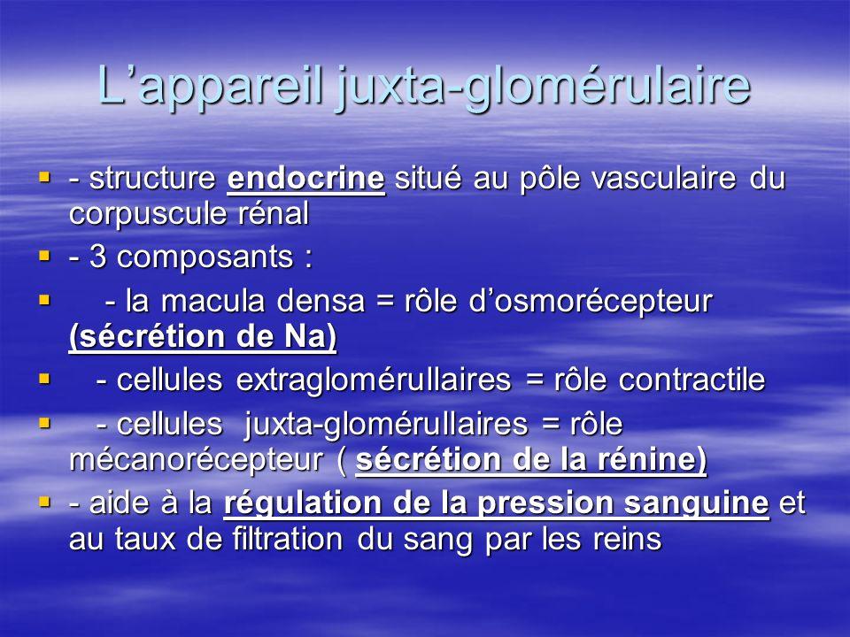 L'appareil juxta-glomérulaire