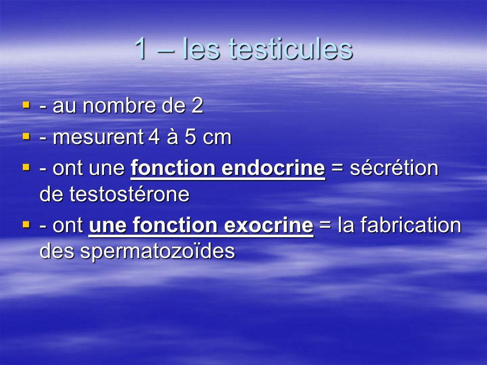 1 – les testicules - au nombre de 2 - mesurent 4 à 5 cm