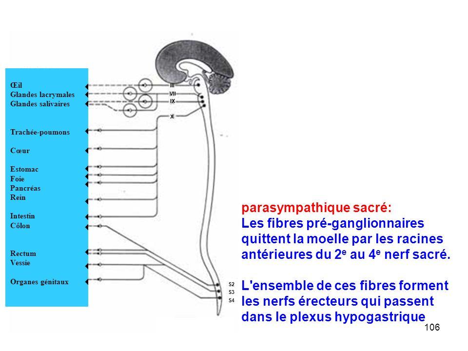 parasympathique sacré: Les fibres pré-ganglionnaires