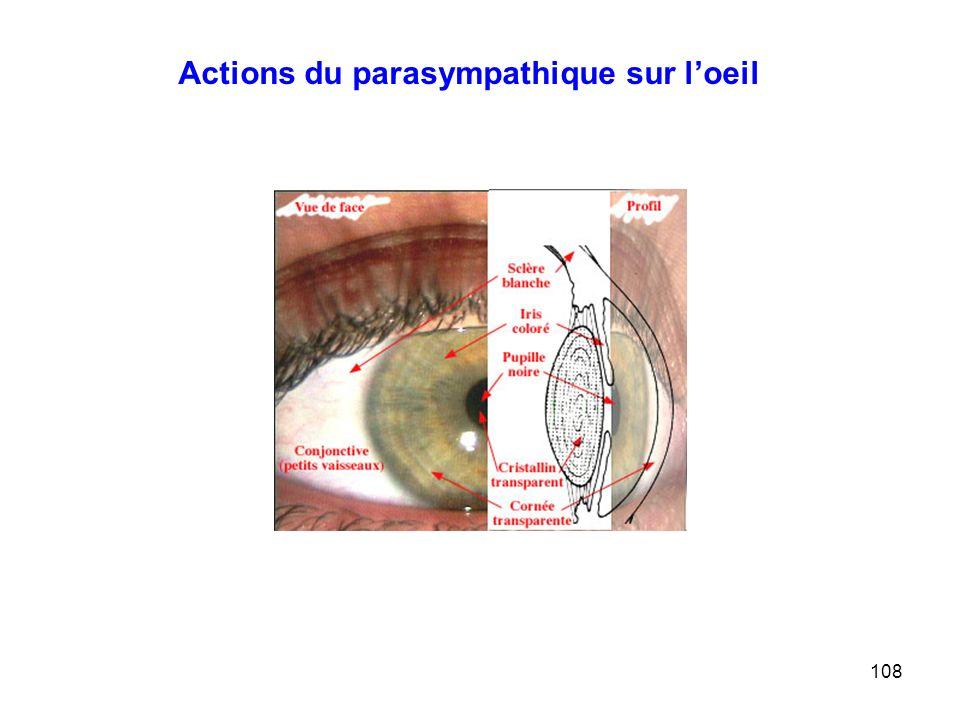 Actions du parasympathique sur l'oeil