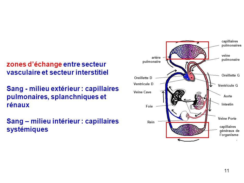 zones d'échange entre secteur vasculaire et secteur interstitiel