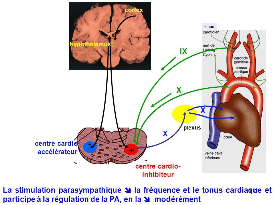 cortex sinus. hypothalamus. IX. X. X. plexus. X. - centre cardio- accélérateur. + centre cardio-