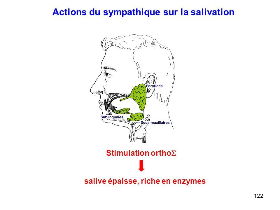 salive épaisse, riche en enzymes