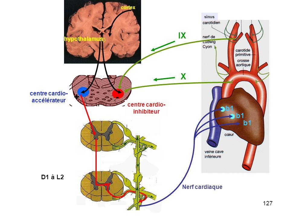 - + IX X b1 D1 à L2 hypothalamus centre cardio- accélérateur