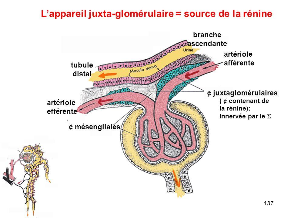 L'appareil juxta-glomérulaire = source de la rénine