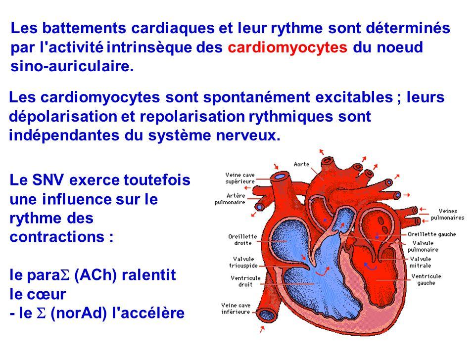 Les battements cardiaques et leur rythme sont déterminés par l activité intrinsèque des cardiomyocytes du noeud sino-auriculaire.